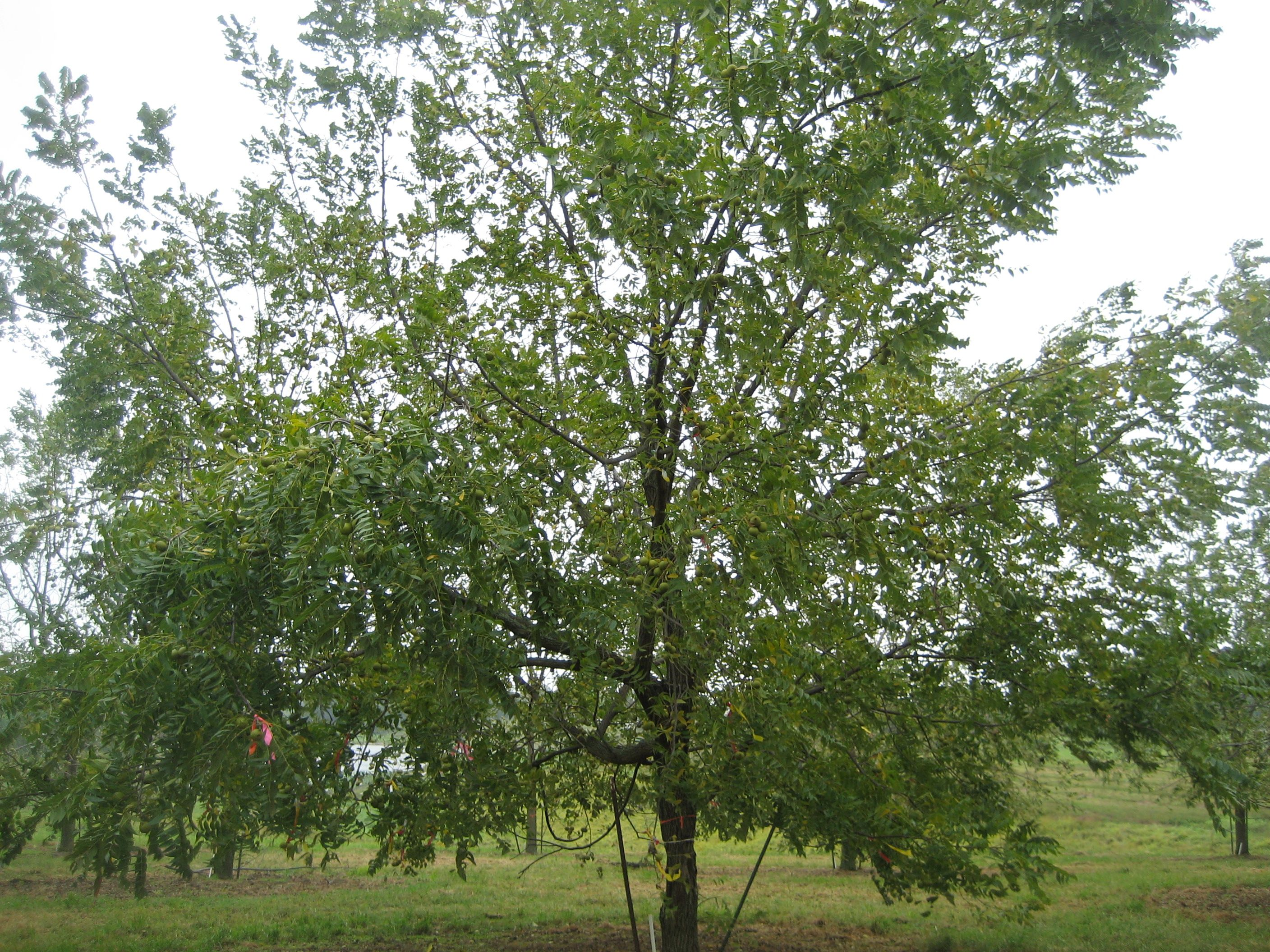 "the black walnut tree Throughout mary oliver's ""the black walnut tree,"" oliver employs figurative language and literary techniques such as diction and imagery to establish the tree's role in the family as a symbol of both the adversities and the rewards that arise from their endeavor to preserve their family history."