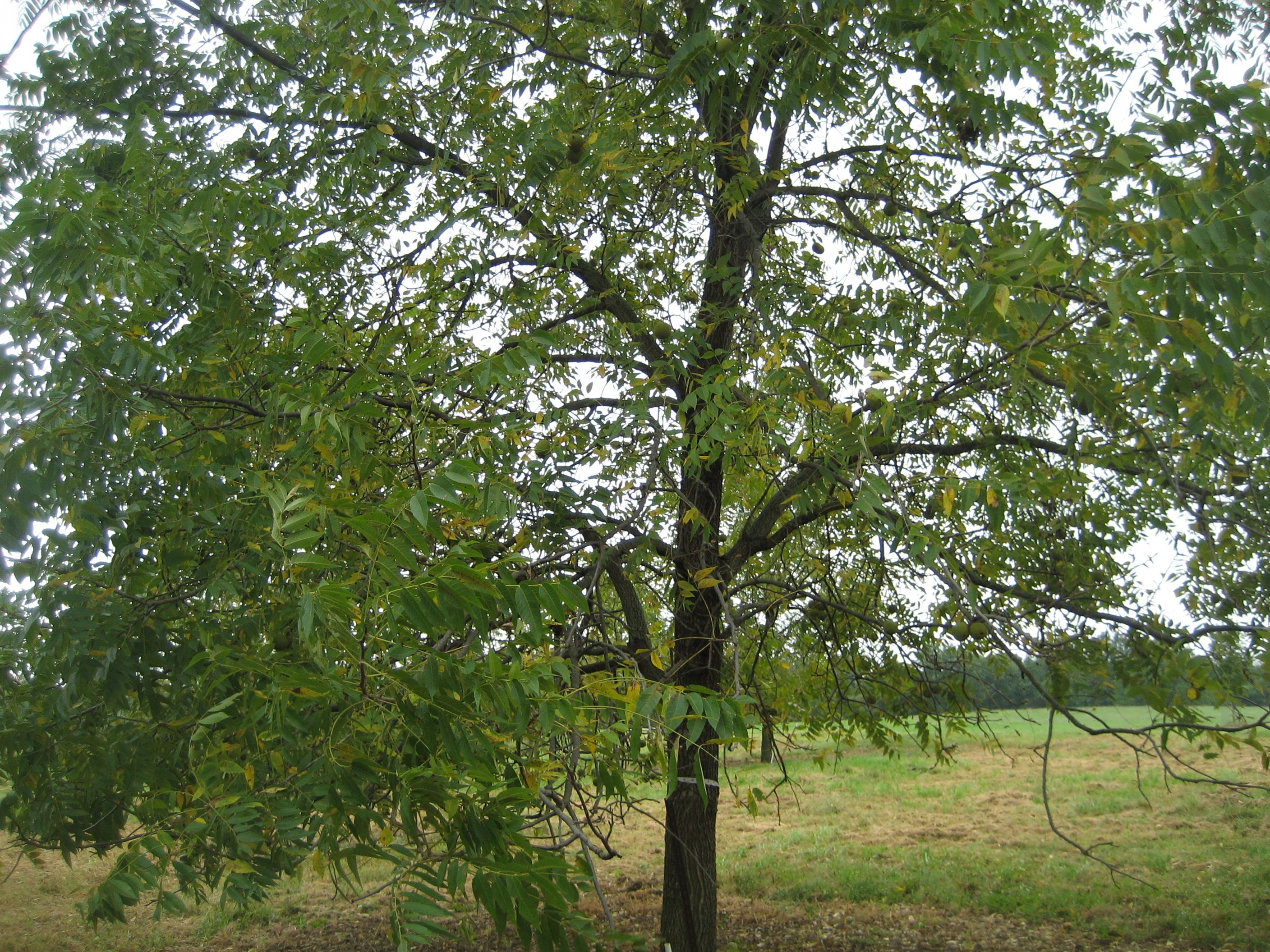Black Walnut Tree Images, Stock Photos Vectors Shutterstock Young black walnut tree pictures